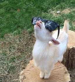 goat-sunglasses